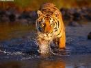 Краткое описание тигра на английском языке с переводом