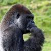 Краткое описание обезьяны на английском языке