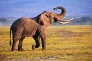 Краткое описание слона на английском языке с переводом
