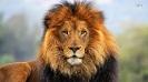 Краткое описание льва на английском языке с переводом