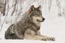Краткое описание волка на английском языке с переводом