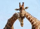 Краткое описание жирафа на английском языке