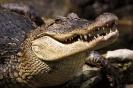 Краткое описание крокодила на английском языке