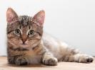Краткое описание кошки на английском языке с переводом